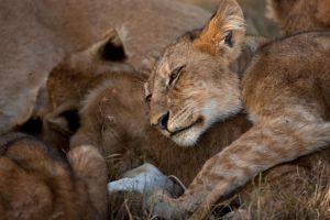 African Lion 45 by catman-suha