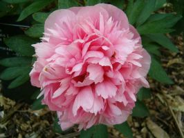 Peony Paradise 3 by JanuaryGuest