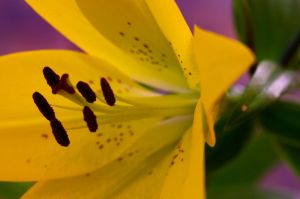 My evening lily by Wonderer1000