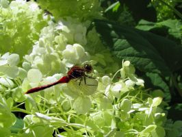 Red Dragonfly. by KimberleePhotography
