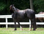 friesian x clydesdale mare 5 by venomxbaby
