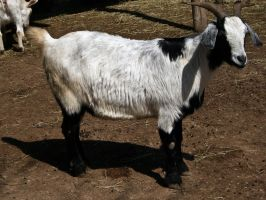 Goat II by Baq-Stock