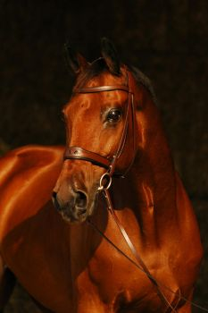 Warmblood Gelding Pino by Blashina