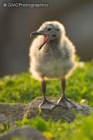 Gull Chick by GMCPhotographics