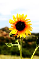 Colorado Sunflower by Foxtrot44