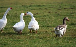 Geese Close by Danimatie