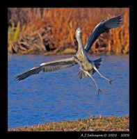 Incoming Heron I by andy-j-s