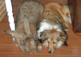 flemish giant rabbit by michelous