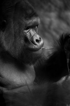 Gorilla by JDSPhotography