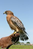 Red Shouldered Hawk by Kippenwolf
