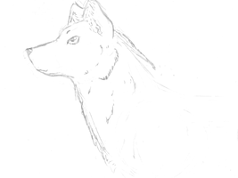 my attemp a drawing a wolf WIP by Dominoluv