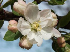 Apple Blossom by AppleBlossomGirl