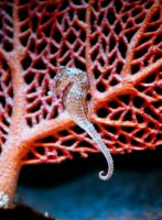 Seahorse by PenguinPhotography