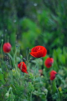 Papaver by elminino