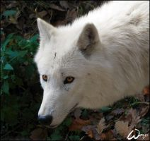 Arctic wolf: curious lady by woxys