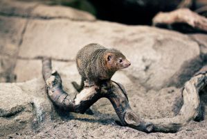 Mongoose by kailay