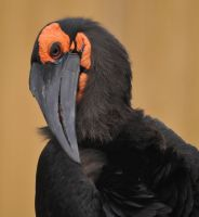 ground hornbill by filthyhandss