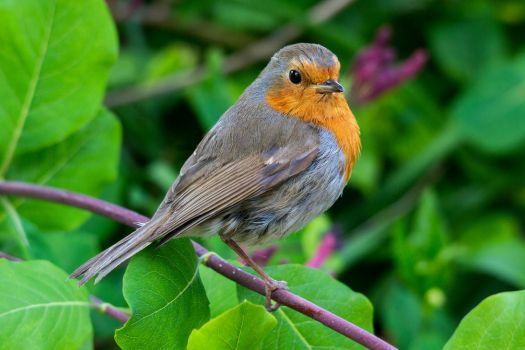 Robin by Daniel-Wales-Images