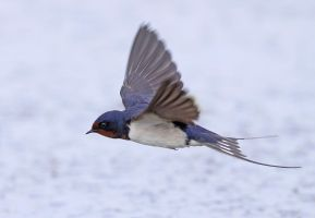playing with the wind - Barn Swallow by Jamie-MacArthur