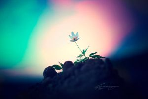 anemone nemorosa, part 2 by SaintSazzle