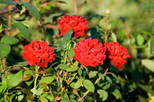 Red Roses by AndreiLigurda