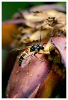 The Wasp by PvP