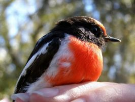 Red-capped Robin by SirTimid