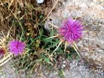 Fuchsia Thistle by AnonymousRabbitLover