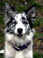 Border Collie 20 by Museik