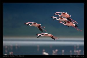 Flight of the Flamingo by RoieG