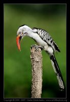 Red-billed Hornbill by invisiblewl