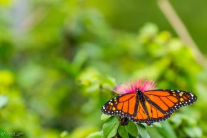 Monarch Butterfly on a Magenta Puff by CyclicalCore