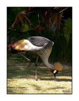 Crowned Crane by palinho