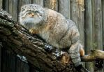 Blue-eyed manul by Allerlei