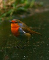 The Robin by Rustyoldtown