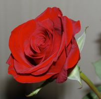 rose stock 11 by anbdstock