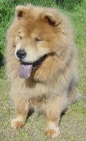 Chow Chow Dog Breed Chewie by FantasyStock