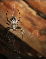 Araneus by jayem187