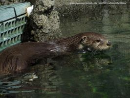 This otter is not wet by GuineaPigDan