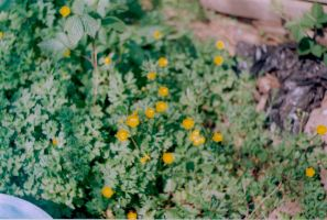 Buttercups by sophierevell