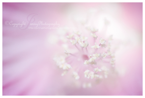Mysterious Pink by JunnyPhotography