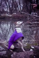 Whippet, posing. by Staged