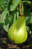 A pear by LucieG-Stock