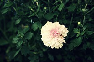 White Flower by amandaehr