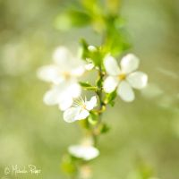 Spring Blossom. III by micky3846