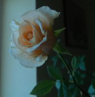 My winter rose by DanicaWish