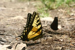 yellow butterfly 2012 by wolfmantruth