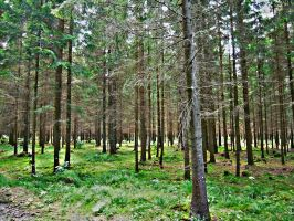 Coniferous Forest by Cryp7ic
