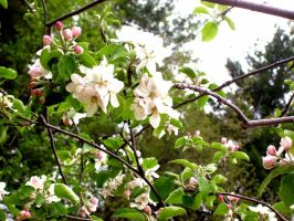 apple blossoms by PhotographyByKendra