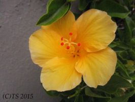 Yellow Hibiskus by The--Silver
